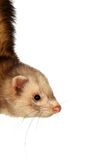 Ferret. Portrait of a male ferret dangling Royalty Free Stock Image