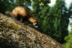 ferret Стоковая Фотография RF
