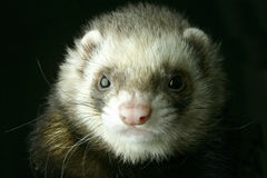 Ferret. Portrait in black background Royalty Free Stock Photo