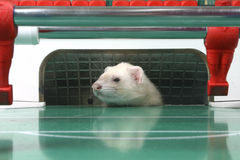 Ferret. White ferret playing table football Royalty Free Stock Photography