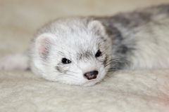 Ferret Royalty Free Stock Photography
