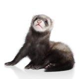 ferret младенца Стоковая Фотография
