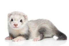 белизна ferret предпосылки младенца Стоковые Изображения