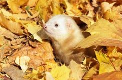 ferret осени покидает желтый цвет Стоковые Фото