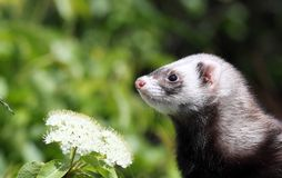 Ferret. In nature during summer Royalty Free Stock Image