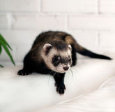 Ferret Royalty Free Stock Photo