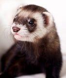 Ferret. Curious playful little animal home Stock Photos