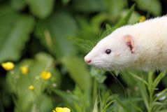 Ferret. Face of ferret in nature Royalty Free Stock Photography
