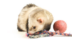 Ferret Stock Image