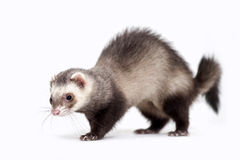 Ferret Stock Photography