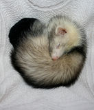 Ferret. Sleeping in the apartment stock photography