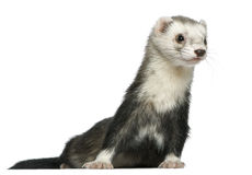 Ferret, 3 and a half years old Royalty Free Stock Photos
