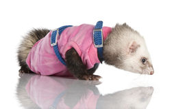 Ferret (3 years old) - Mustela putorius furo Stock Photo