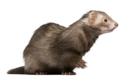 Ferret, 3 years old, sitting Stock Photo