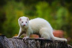 Ferret Stock Image