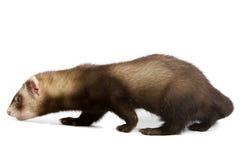 ferret Стоковые Фотографии RF