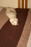 ferret Стоковое Фото