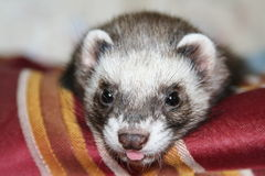 Ferret. Face of young female ferret with its tongue out Royalty Free Stock Photo