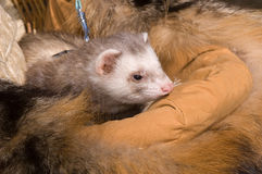 Ferret. Little brown ferret in a cage stock photo
