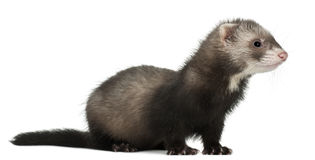 Ferret, 6 months old. In front of white background royalty free stock photo