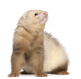 Ferret, 6 months old Royalty Free Stock Photo
