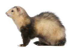 Ferret, 6 months old Royalty Free Stock Images