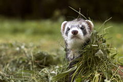 Ferret. In grass Royalty Free Stock Image