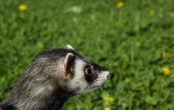 Ferret. On summer grass Royalty Free Stock Images