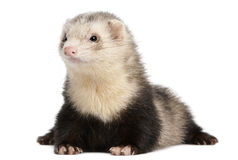 Ferret, 8 months old, lying Royalty Free Stock Photos
