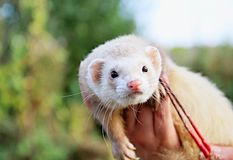 Free Ferret Royalty Free Stock Images - 84339809