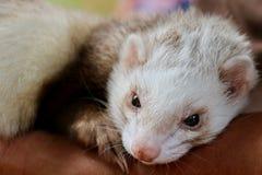 ferret Стоковые Фото