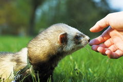 Ferret. And human hand Stock Images