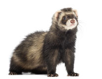 Ferret, 9 months old, looking away Royalty Free Stock Photo
