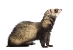 Ferret, 9 months old, sitting and looking up Stock Photography