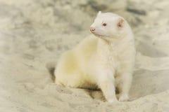 Albino ferret portrait in lazy beach style stock photo
