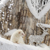 Ferret albinos Royalty Free Stock Image