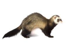 Ferret attacks Royalty Free Stock Photo
