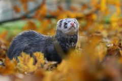 Ferret in autumn Royalty Free Stock Photo