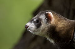 Ferret awake Royalty Free Stock Images