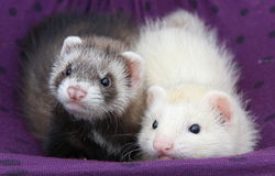 Ferret Babies Royalty Free Stock Photos