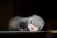 Ferret baby Royalty Free Stock Image