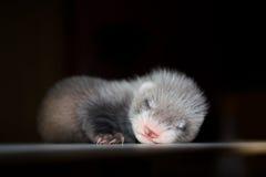 Ferret baby royalty free stock image