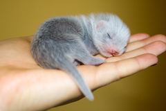 Ferret baby Stock Photos