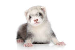 Ferret baby. Ferret puppy on a white background royalty free stock images