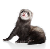 Ferret baby Stock Photography