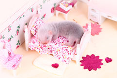 Ferret baby in doll house Stock Photos
