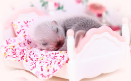 Ferret baby in doll house Stock Images