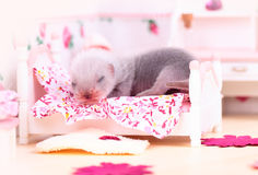 Ferret baby in doll house Royalty Free Stock Photo