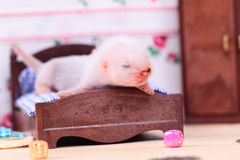 Ferret baby in doll house Royalty Free Stock Images