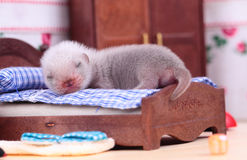 Ferret baby in doll house Stock Image
